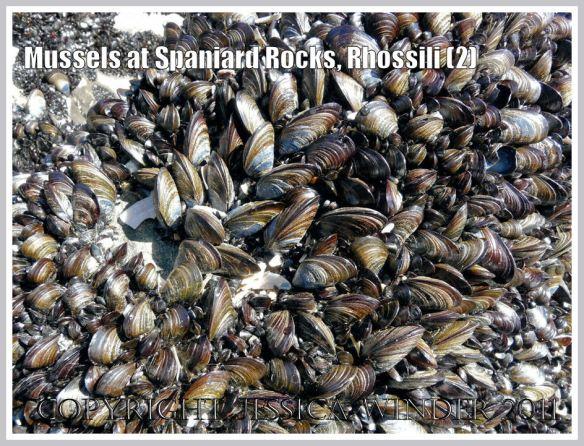 Common edible mussels, Mytilus edulis Linnaeus, growing at Spaniard Rocks, Rhossili Bay, Gower, South Wales, UK (2)