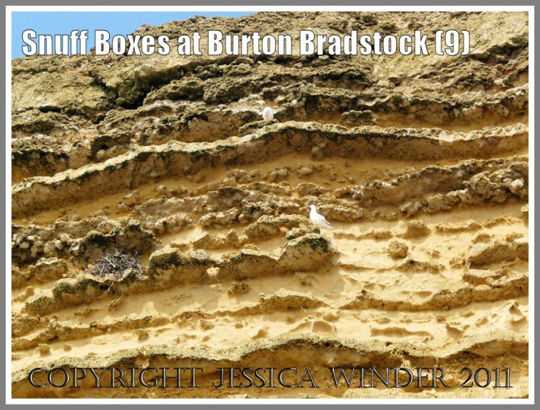 Detail of the cliff face at Burton Bradstock, Dorset, UK - part of the Jurassic Coast - showing gulls nesting on the ledges created by projecting calcite-cemented bands within the Bridport Sands; with a darker brown layer of Inferior Oolite above (9)