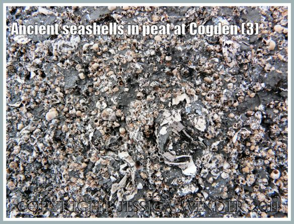 Mostly gastropod shells found crushed between layers of an ancient peat block found on the shingle at Cogden Beach, Dorset, UK - part of the Jurassic Coast (3)