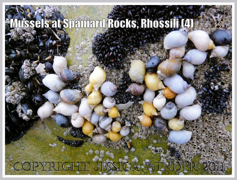 Dog whelks, Nucella lapillus (Linnaeus), feeding on young mussels and barnacles on Spaniard Rocks, Rhossili Bay, Gower, South Wales, UK (4)