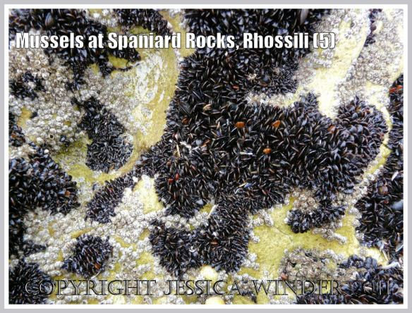 Irregular patches of common edible mussels with acorn barnacles on Spaniard Rocks, Rhossili Bay, Gower, South Wales, UK (5)