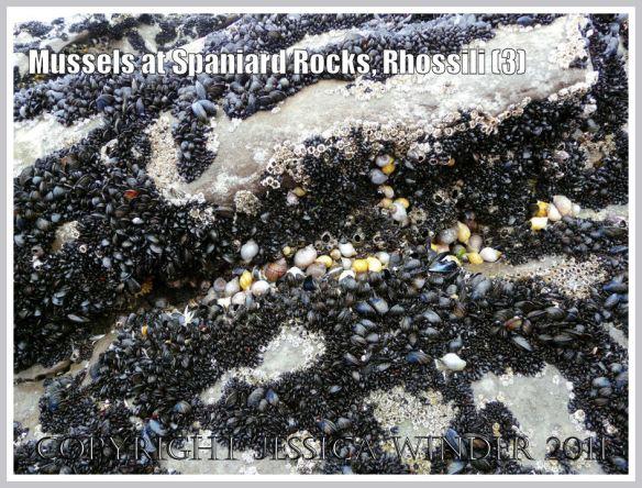 Common edible mussels, Mytilus edulis Linnaeus, growing at Spaniard Rocks, Rhossili Bay, Gower, South Wales, UK (3)