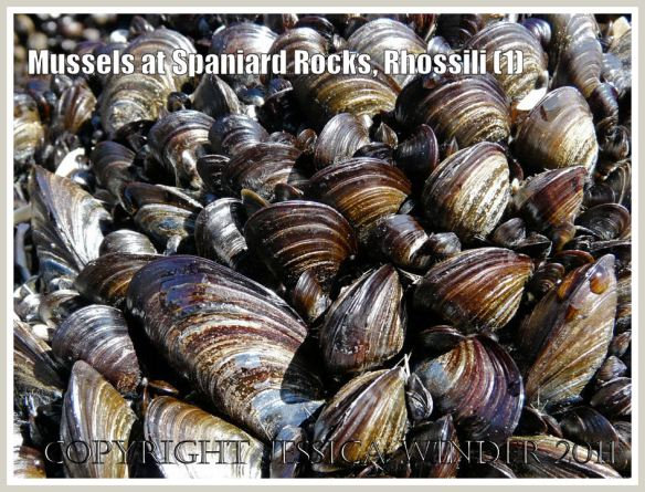 Common edible mussels, Mytilus edulis Linnaeus, at Spaniard Rocks, Rhossili Bay, Gower, South Wales, UK (1)