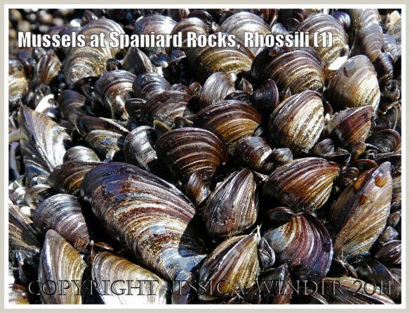 Common edible mussels, Mytilus edulis Linnaeus, at Spaniard Rocks, Rhossili Bay, Gower, South Wales, UK (1)