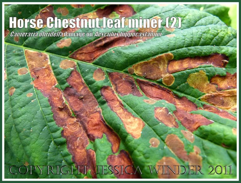 Close-up of a Horse Chestnut leaf (Aesculus hippocastanum) in Dorset, UK, damaged by leaf-mining caterpillars of the moth Cameraria ohridella - originally from Northern Greece (2)