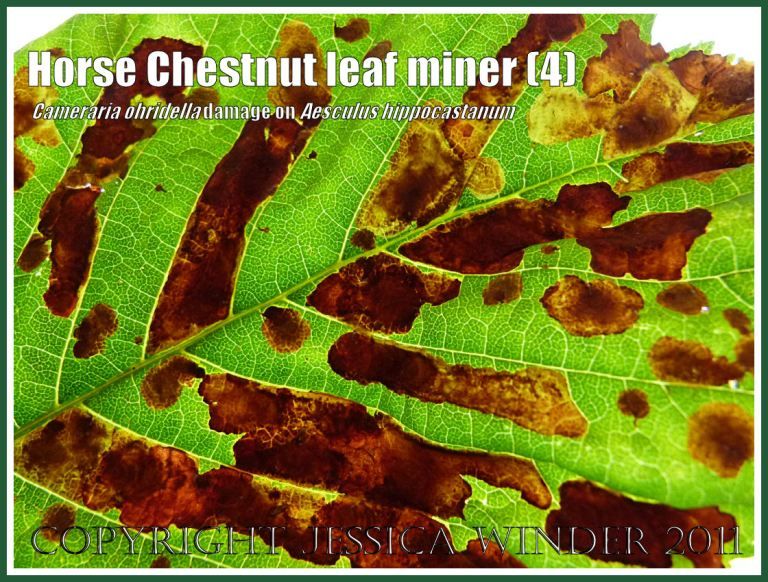 Close-up of the pattern of damage on a Horse Chestnut leaf (Aesculus hippocastanum) caused by the tunnelling activities of the leaf-mining caterpillars of the moth Cameraria ohridella (4) Photographed in transmitted light.