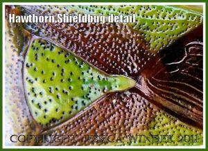 Detail of Hawthorn Shieldbug, Acanthosoma haemorrhoidale (L.), showing pitted texture of the exoskeleton.