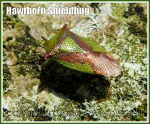 Hawthorn Shieldbug, Acanthosoma haemorrhoidale (L.), resting on a lichen-covered beech tree trunk, Dorset, UK.