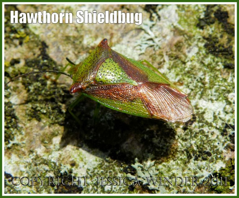 Hawthorn Shieldbug, Acanthosoma haemorrhoidale (L.), resting on a lichen-covered beech tree trunk, Dorset, UK.
