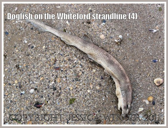Lesser Spotted Dogfish, Scyliorhinus caniculus (Linnaeus), on the strandline at Whiteford Sands, Gower, South Wales, UK (4)