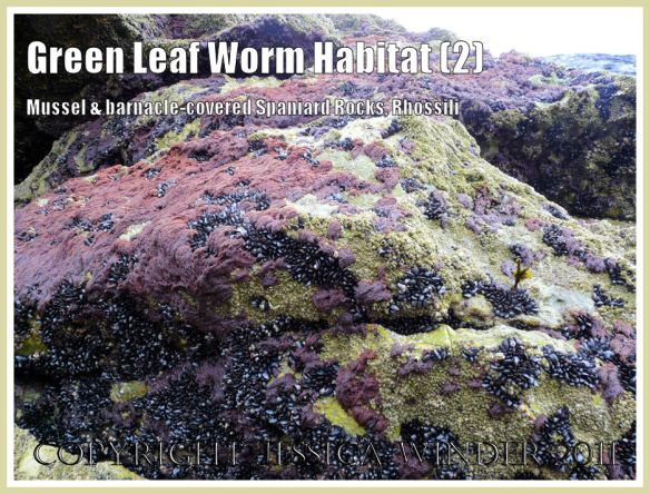 Green Leaf Worm habitat - Spaniard Rocks, Rhossili, Gower, encrusted with red seaweed, mussels and barnacles in April 2009 (2)