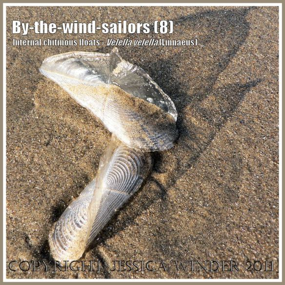 By-the-wind-sailor chitinous floats, Velella velella (Linnaeus), on the strandline of Rhossili Beach, Gower, South Wales, UK (8)