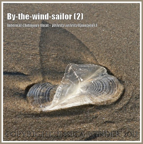 By-the-wind-sailor chitinous float, Velella velella (Linnaeus), on the strandline of Rhossili Beach, Gower, South Wales, UK (2)