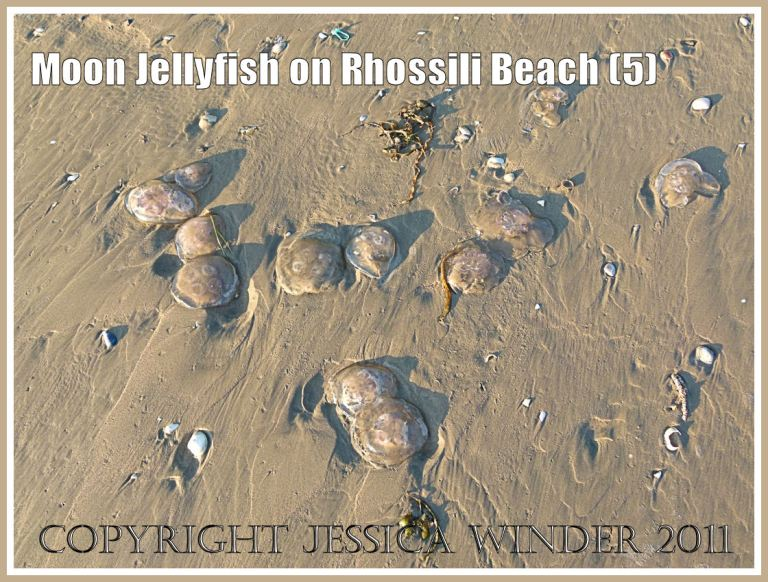 Several Moon Jellyfish, Aurelia aurita (Linnaeus), stranded on the sandy beach at Rhossili Bay, Gower, South Wales, UK (5)