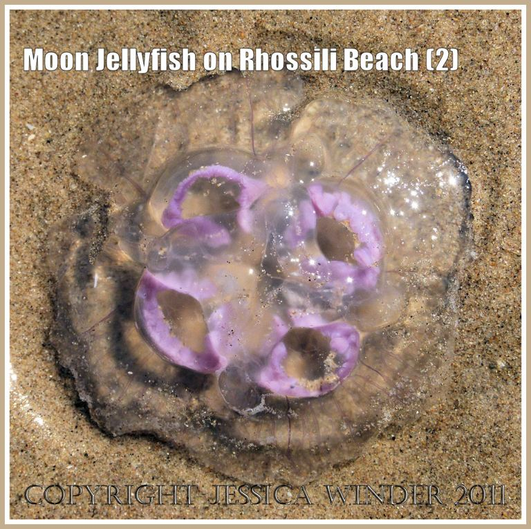 Moon Jellyfish, Aurelia aurita (Linnaeus), stranded on the sandy beach at Rhossili Bay, Gower, South Wales, UK (2)