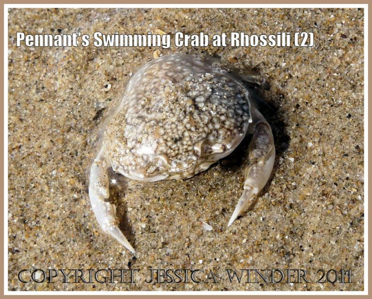 The living crab Portumnus latipes (Pennant) found on the lower shore at Rhossili Bay, Gower, South Wales, UK (2)