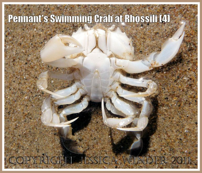 The small crab Portumnus latipes (Pennant), deceased, under surface, on the lower shore sand of Rhossili Bay, Gower, South Wales, UK (4)