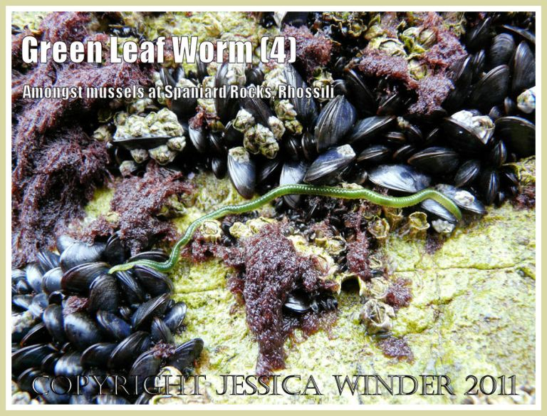 Green Leaf Worm, Eulalia viridis (Linnaeus), on mussels and barnacles encrusting limestone cliffs at Spaniard Rocks, north end of Rhossili Bay, Gower, South Wales.UK (4)