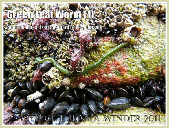 Green Leaf Worm, Eulalia viridis (Linnaeus), on mussels and barnacles encrusting limestone cliffs at Spaniard Rocks, north end of Rhossili Bay, Gower, South Wales.UK (1)