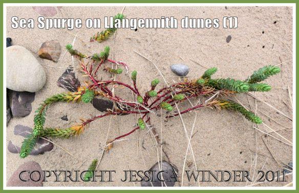Sea Spurge, Euphorbia paralias Linnaeus, on the sand dunes of Llangennith Burrows backing onto Rhossili Bay, Gower, South Wales, UK (1)