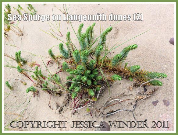 Sea Spurge, Euphorbia paralias Linnaeus, on sand dunes of Llangennith Burrows backing onto Rhossili Bay, Gower, South Wales, UK (2)