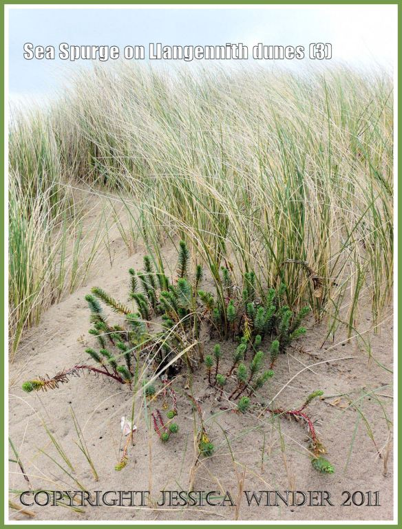 Sea Spurge, Euphorbia paralias Linnaeus, on sand dunes at Llangennith Burrows backing onto Rhossili Bay, Gower, South Wales, UK (3)