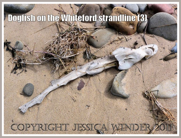 Lesser Spotted Dogfish, Scyliorhinus caniculus (Linnaeus), on the strandline at Whiteford Sands, Gower, South Wales, UK (3)