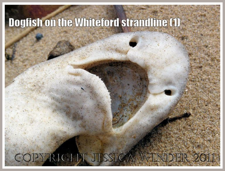 Lesser Spotted Dogfish or Rough Hound, Scyliorhinus caniculus (Linnaeus), on the strandline at Whiteford Sands, Gower, South Wales, UK (1)