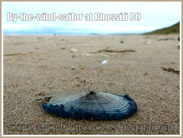 By-the-wind-sailor, Velella velella (Linnaeus), with bright blue oval jelly-like body and transparent chitinous float, washed ashore on the sandy beach at Rhossili, Gower, South Wales, UK (4)
