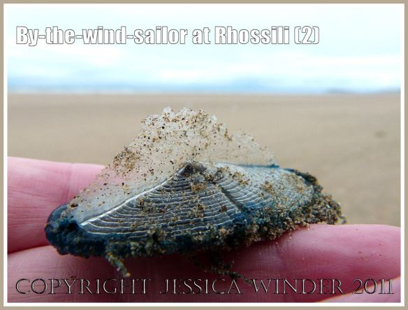 By-the-wind-sailor, Velella velella (Linnaeus), with bright blue oval jelly-like body and transparent chitinous float, washed ashore on the sandy beach at Rhossili, Gower, South Wales, UK (2)