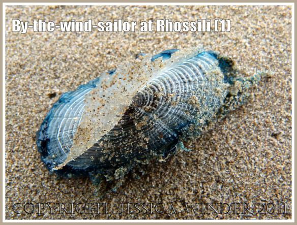 By-the-wind-sailor, Velella velella (Linnaeus), with bright blue oval jelly-like body and transparent chitinous float, washed ashore on the sandy beach at Rhossili, Gower, South Wales, UK (1)