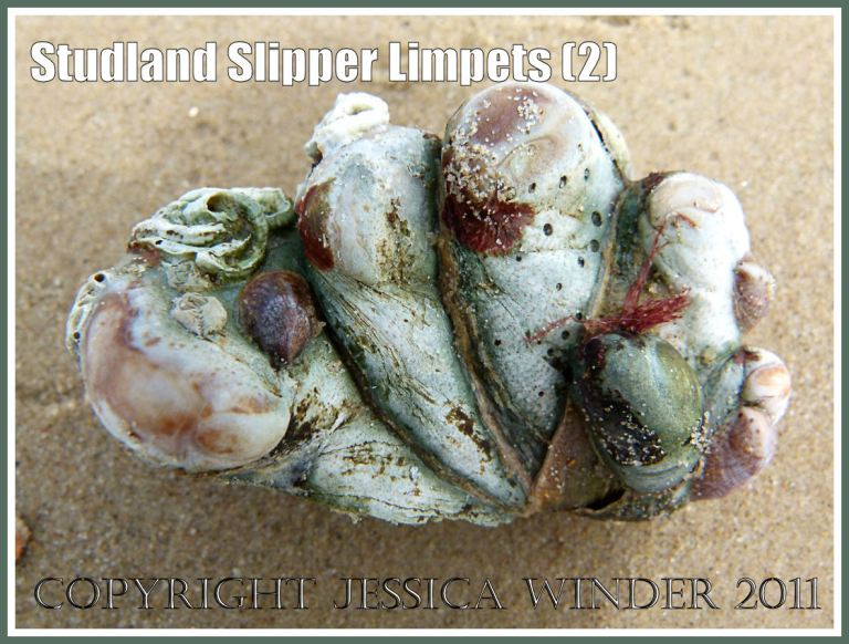 Slipper Limpets, Crepidula fornicata (Linnaeus), growing attached together in a clump, washed ashore on Studland Beach, Dorset, UK. (2)