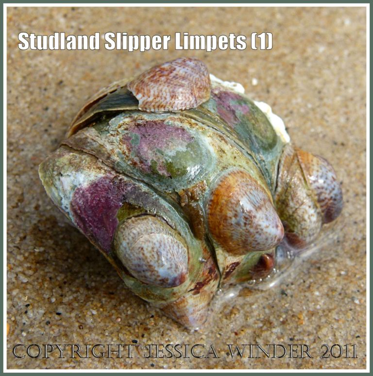 Slipper Limpets, Crepidula fornicata (Linnaeus), growing attached together in a clump, washed ashore on Studland Beach, Dorset, UK. (1)