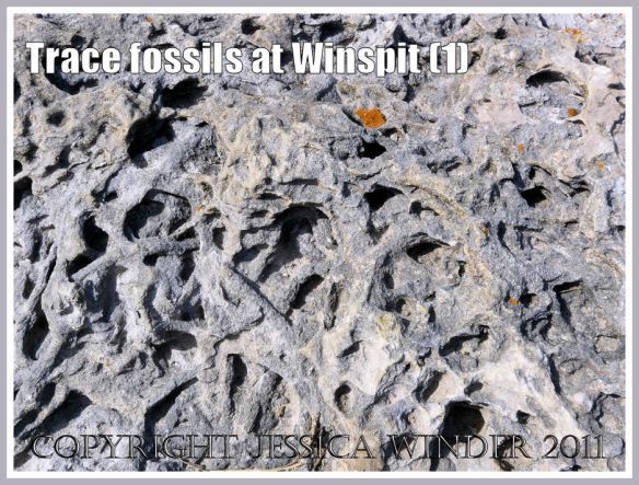 Trace fossil burrows in a limestone boulder, made by marine invertebrate creatures in ancient times, at Winspit, Dorset, UK - part of the Jurassic Coast (1)