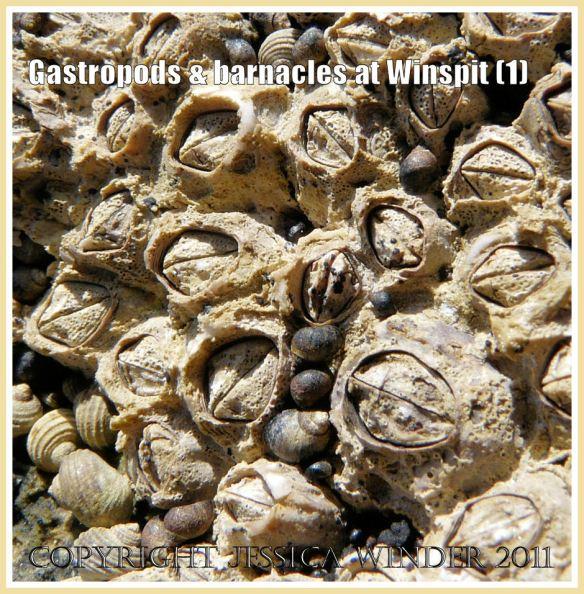 Tiny black smooth-shelled gastropod molluscs, Melarhaphe (Littorina) neritoides Linnaeus, clustered amongst acorn barnacles, on the rocky shore at Winspit, Dorset, UK - part of the Jurassic Coast (1)