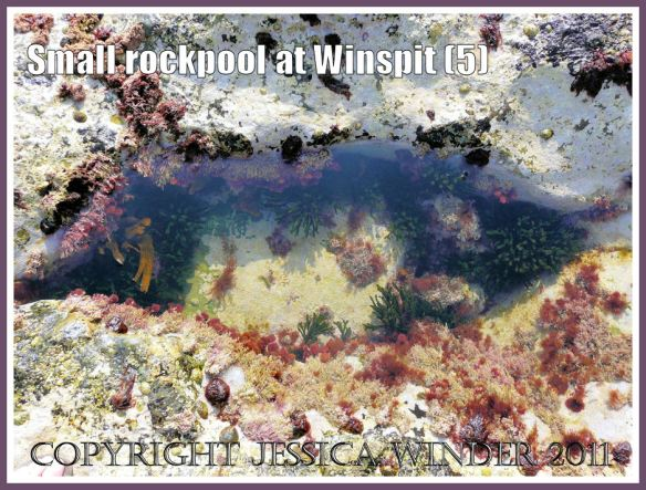 Small mouth-shaped rockpool at Winspit, Dorset, UK - part of the Jurassic Coast (5)