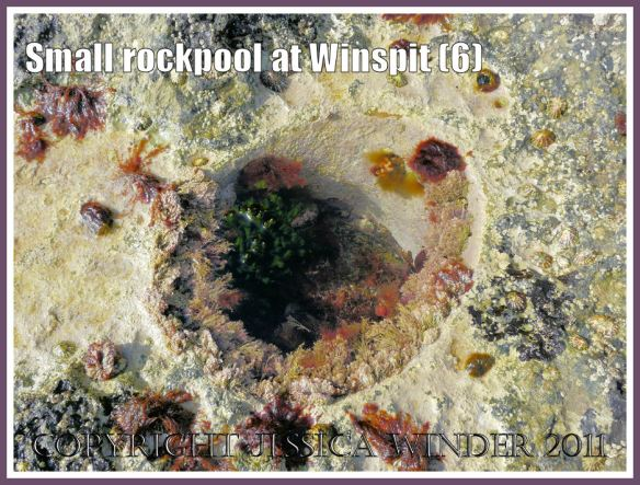 Small round rockpool at Winspit, Dorset, UK - part of the Jurassic Coast (6)
