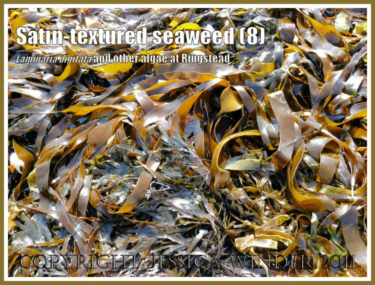 Tangle or Oarweed, Laminaria digitata (Hudson) Lamouroux, with smooth satin-textured blades, growing on offshore kelp beds at Ringstead Bay, Dorset, UK, and exposed on a very low tide (8)