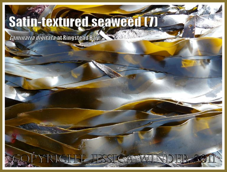 Tangle or Oarweed, Laminaria digitata (Hudson) Lamouroux, with smooth satin-textured blades, growing on offshore kelp beds at Ringstead Bay, Dorset, UK, and exposed on a very low tide (7)