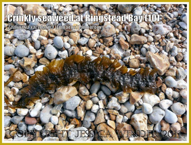 Sea Belt or Poor Man's Weatherglass seaweed (Laminaria saccharina) washed ashore on the pebble beach at Ringstead Bay, Dorset, UK - part of the Jurassic Coast. View 10