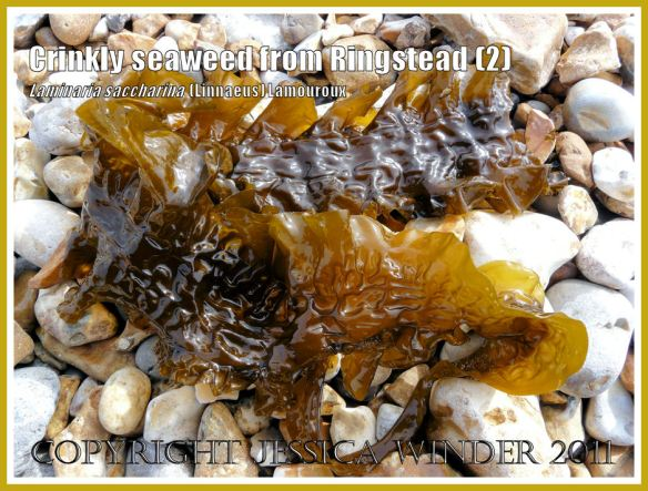 Crinkled glossy Sea Belt or Poor Man's Weatherglass seaweed (Laminaria saccharina) on the shingle beach at Ringstead, Dorset, UK. View 2