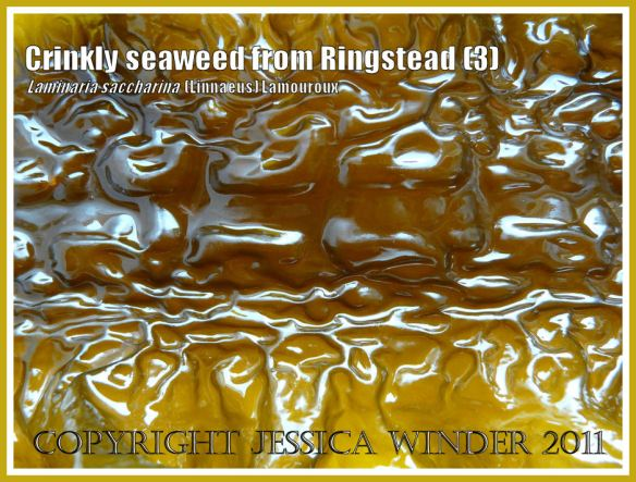 Crinkled puckered glossy textured seaweed (Laminaria saccharina), also known as Sea Belt or Poor Man's Weatherglass - View 3