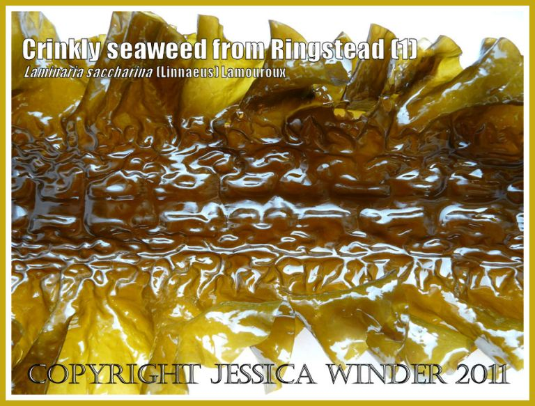 Crinkled puckered glossy seaweed (Laminaria saccharina), also known as Sea Belt or Poor Man's Weatherglass - View 1