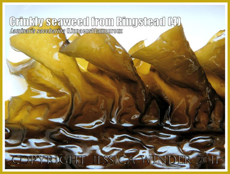 Detail of the wavy, folded edge of the crinkled, puckered, glossy textured seaweed (Laminaria saccharina), also known as Sea Belt or Poor Man's Weatherglass - View 4