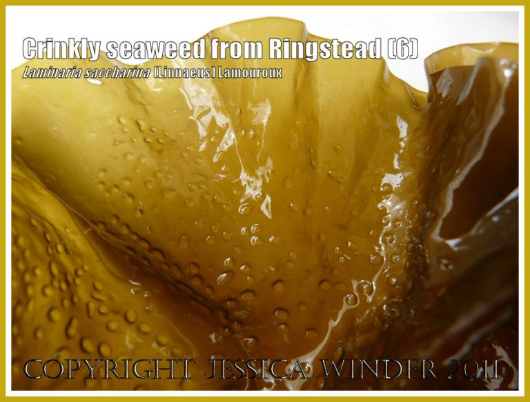 Detail of the wavy, glossy border of the kelp Laminaria saccharina, also known as Sea Belt or Poor Man's Weatherglass - View 6