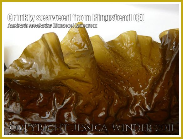 Detail of the frilly translucent edge of Sea Belt or Poor Man's Weatherglass seaweed (Laminaria saccharina). View 8