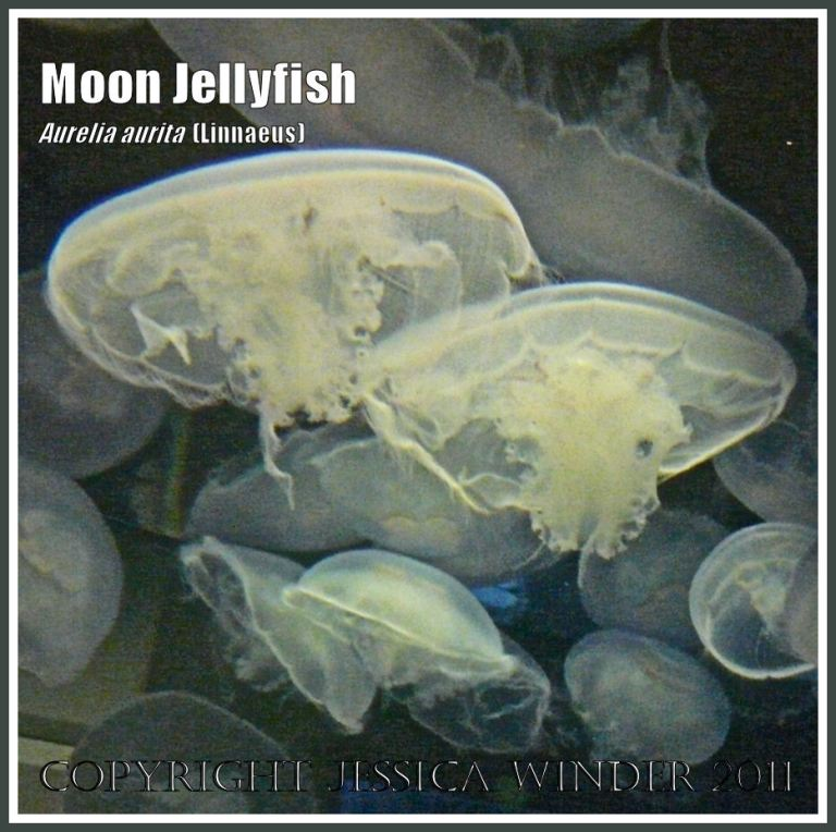 A group of Moon Jellyfish, Aurelia aurita (Linnaeus), swimming in an aquarium (7)