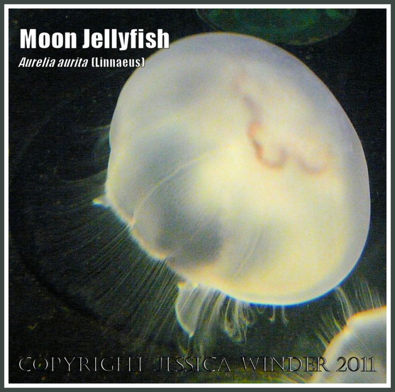 Moon Jellyfish, Aurelia aurita (Linnaeus), swimming in an aquarium (6)