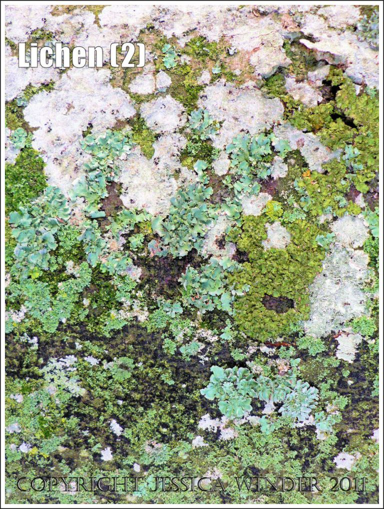 Lichen patterns: Abstract pattern of lichens in various shades of green and white on the trunk of a beech tree, Charlton Down, Dorset (2)