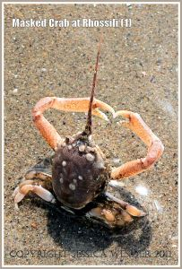 Living Masked Crab, Corystes cassivelaunus (Pennant), braced in the wet sand to meet the on-coming waves, Rhossili, Gower, South Wales (1)